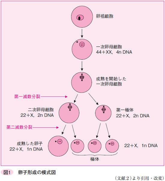 卵と卵胞の発育・成熟 卵の発育と成熟 卵子成熟とゴナドトロピン | M-Review